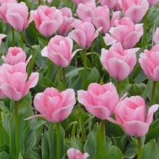 Тюльпан Sweet Sixteen