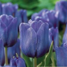 Тюльпан Bleu Aimable (2 шт)