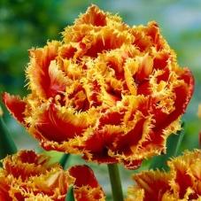 Тюльпан Gold Dust (луковицы)