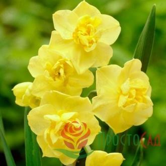 Нарцисс Yellow Cheerfulness (луковицы)